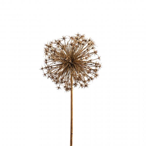 Allium, 106 cm, beige