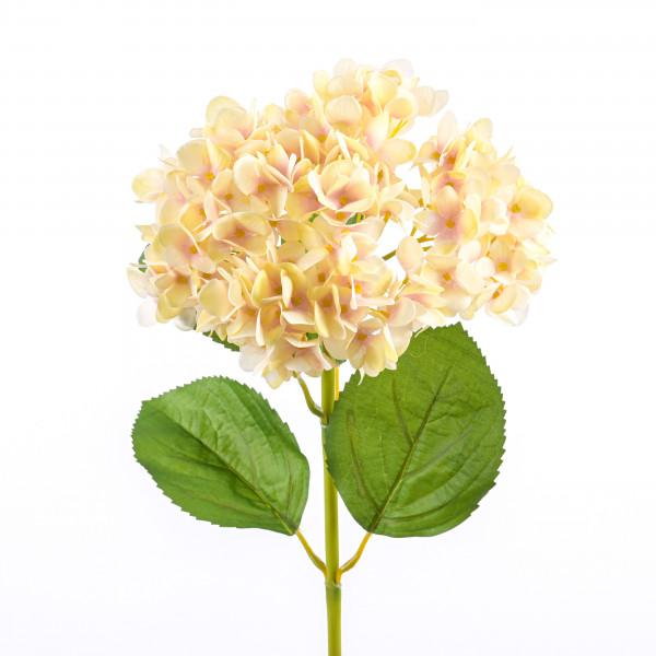 Hortensie, 60 cm