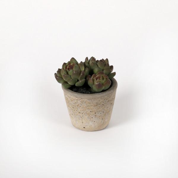 Echeveria im Betontopf, 12.5 cm