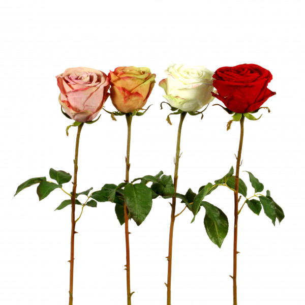 Rose Susan , x 1, 53 cm