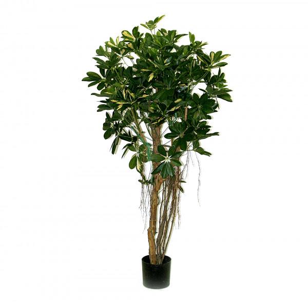 Schefflera, 120 cm