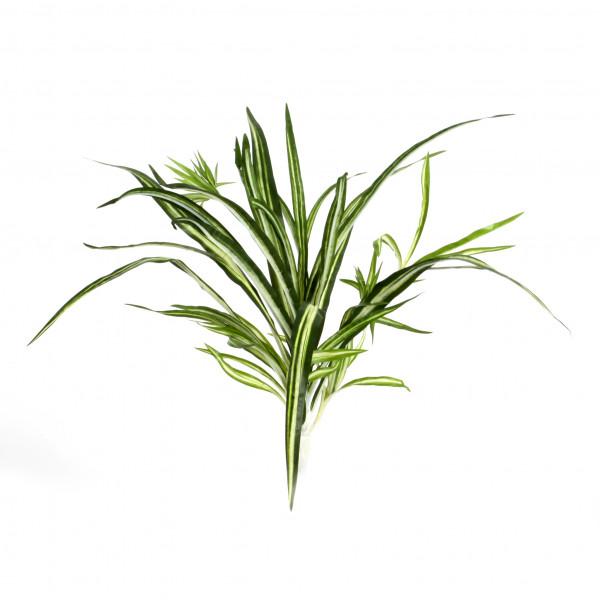 Chlorophytum Bonnie , 50 cm, grün