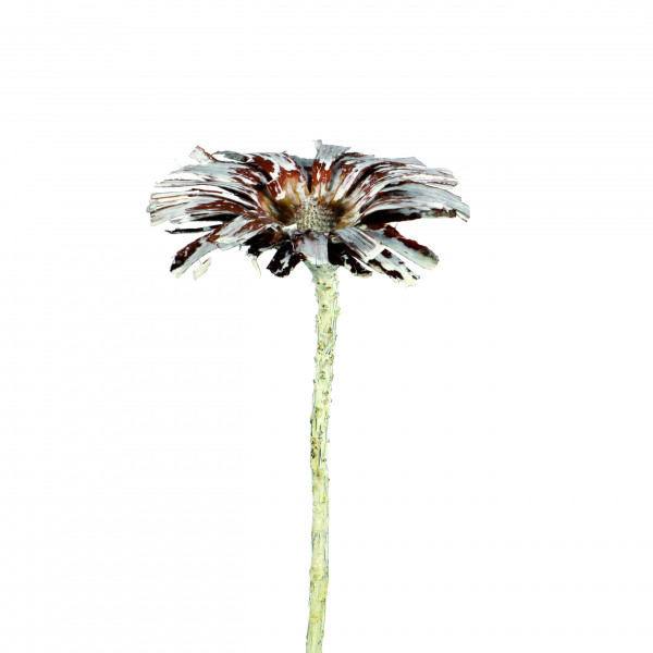 Protea Repens Super Cut 8-9cm Stone Wash (Polybeutel a 25 Stk.)