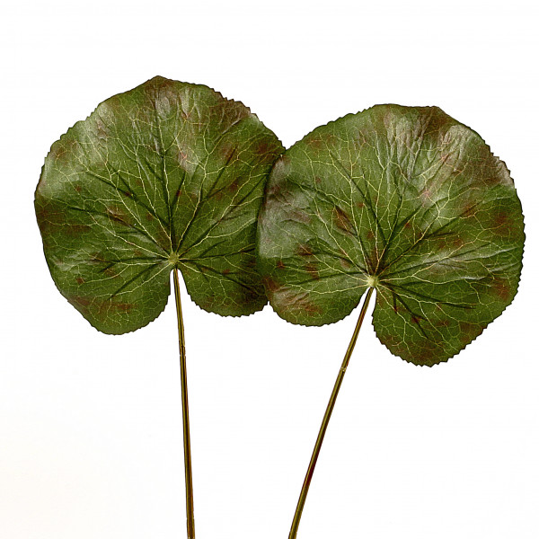 Galaxblatt,klein,grün-braun