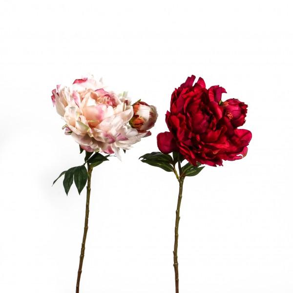 Pfingstrose, gefüllt, 54 cm, 1 Blüte 1 Knospe