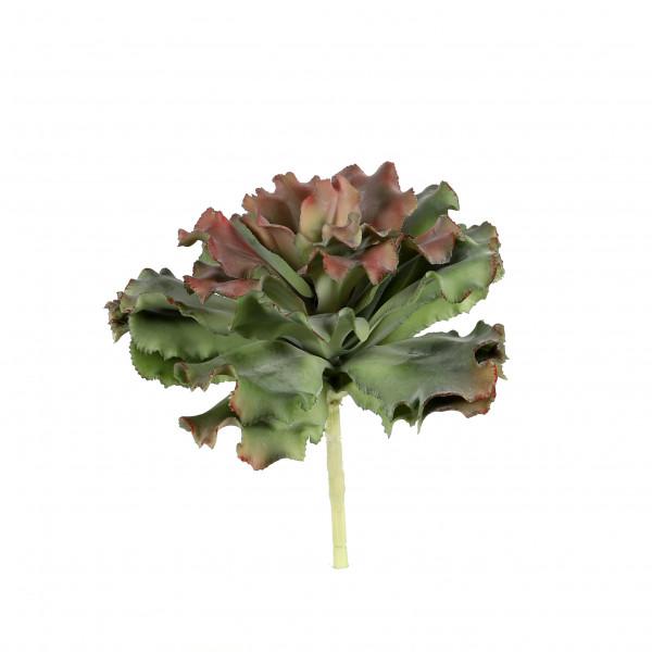 Echeveria hybride, 25 cm, rot-grün gefranste Blätter