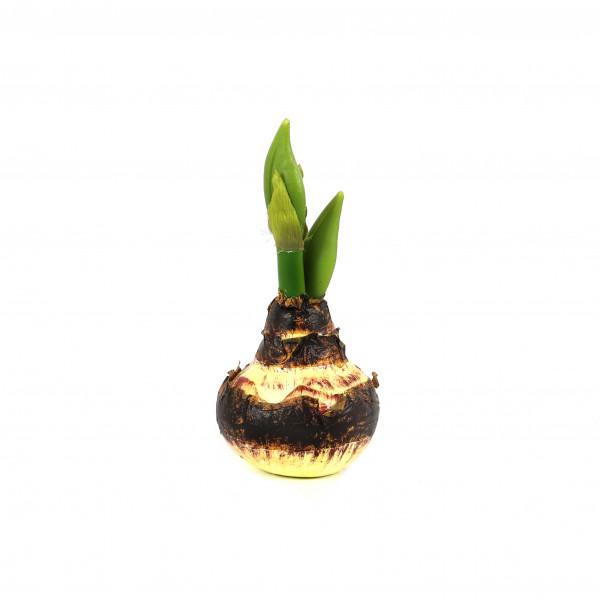Amaryllis-Zwiebel mit Knospe, 21 cm natur