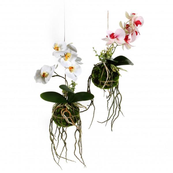 Phalaenopsis hängend in Moos- Kugel, 27 cm