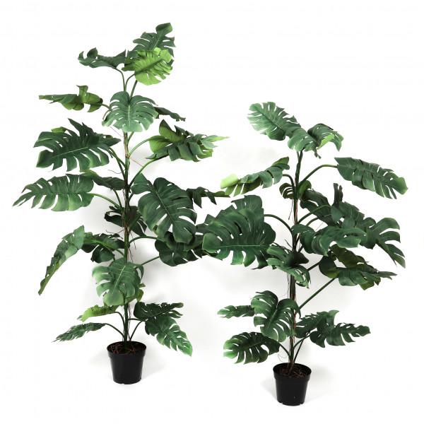 Monstera-Pflanze, getopft
