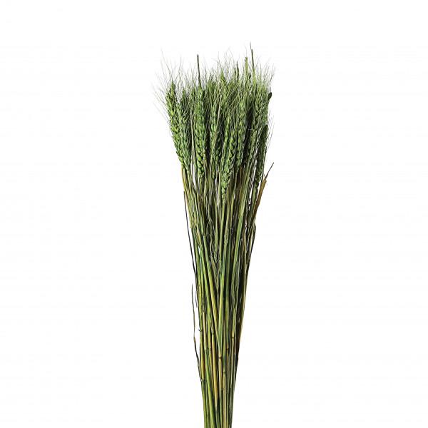 Weizen grün 50-70 cm Bund 70 g