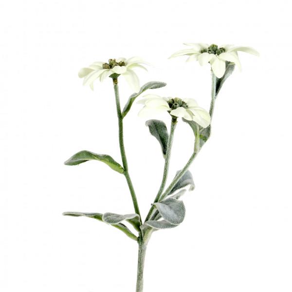 Edelweiss, 24 cm