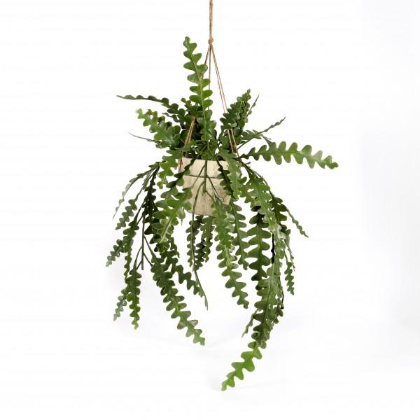 Schlumbergera im Topf, hängend, 50 cm