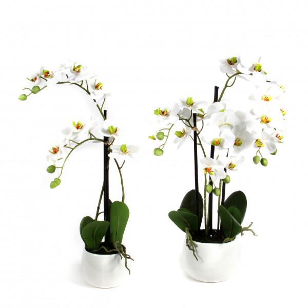 Phalaenopsis x