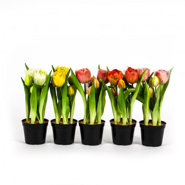 Tulpe Amsterdam ,offen,getopft 24cm pfirsich