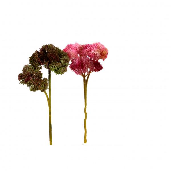 Sedum Pick x 3, 20 cm