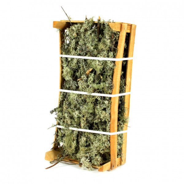 Oak Moss verzweigt Box natur