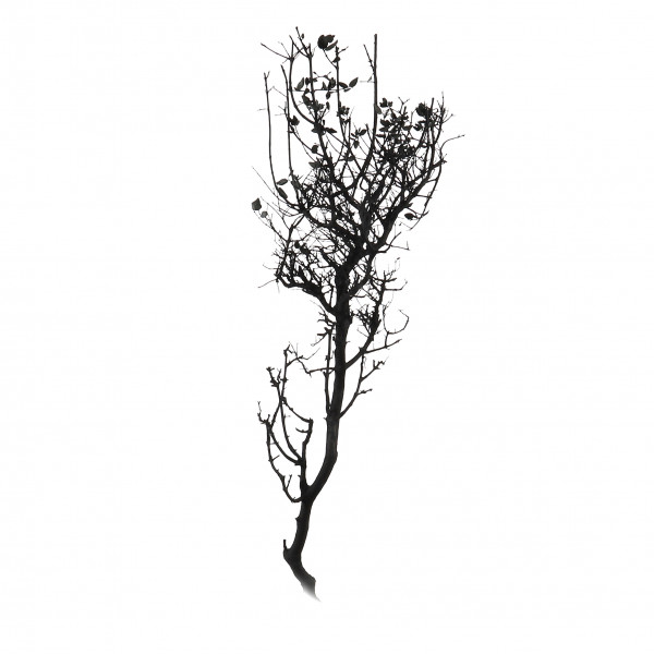 Olmo Contorto 100-120 cm schwarz