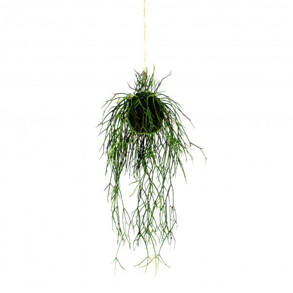 Rhipsalis-Hänger im Moosball, 56 cm