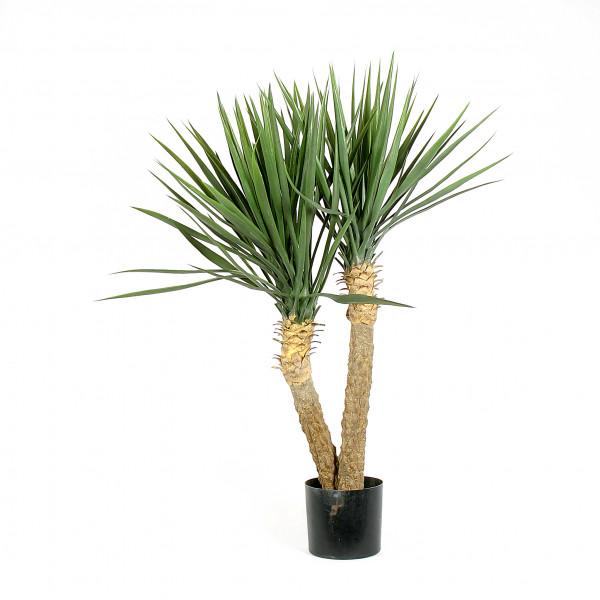 Yucca Rostrata x 2, 100 cm