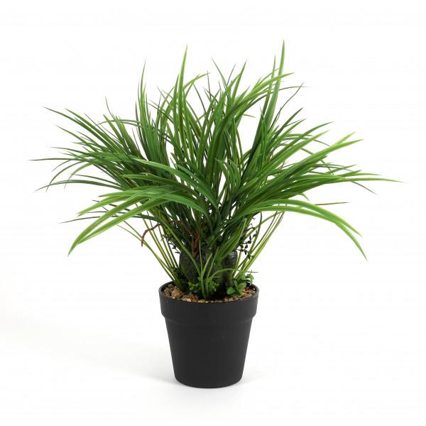 Acorus calamus, getopft, 45 cm, grün