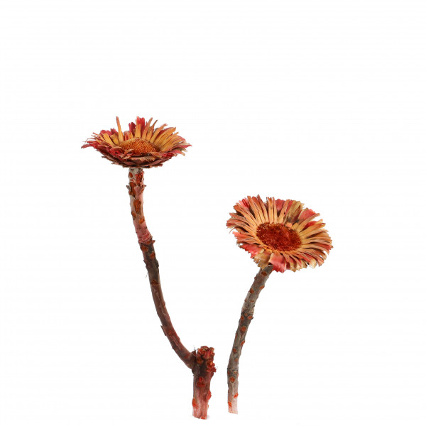 Macrophylla Rosette rot (Originalkarton) 145 Stück