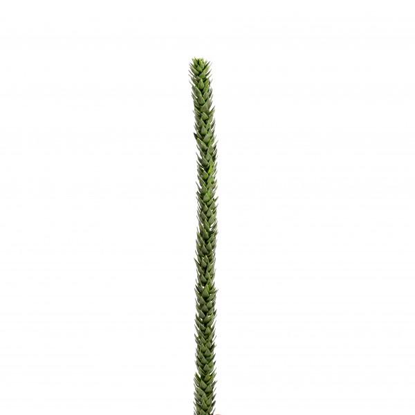Araukarie, 75 cm, grün
