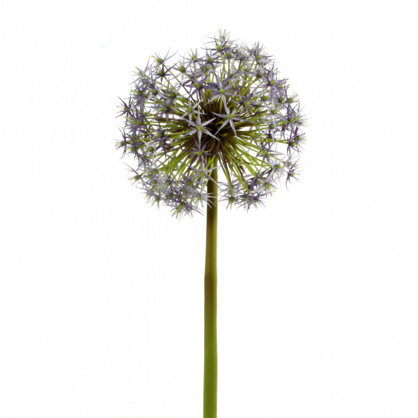 Allium x 1, 42 cm, violett