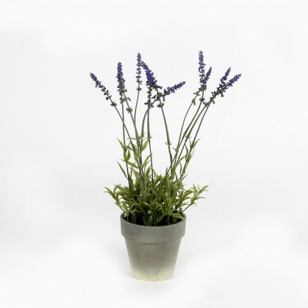 Lavendel, getopft, 40 cm
