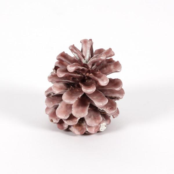 Pinus Nigra gewachst rose Blt. 12 Stück Zapfen
