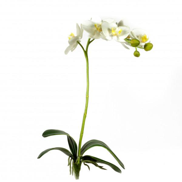 Phalaenopsis, weiß