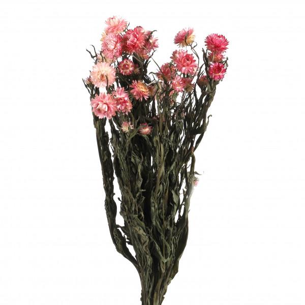 Helichrysum pink Bund 250 gr