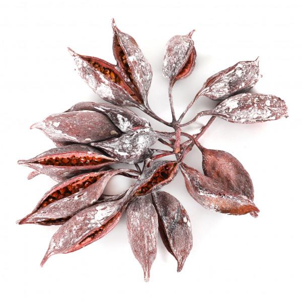 Brachiychition erika frostet (Fensterkarton x 1 KG )