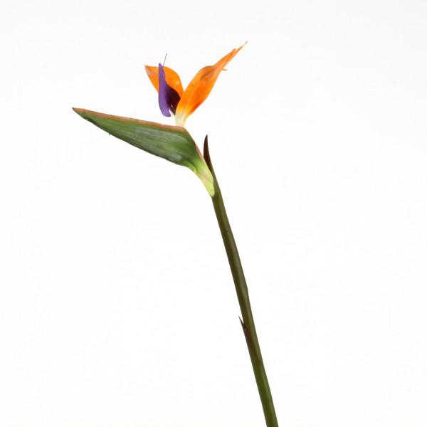Strelitzie, 70 cm, orange