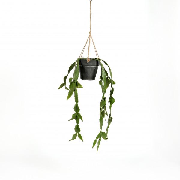 Schlumbergera im Topf, hängend, 34 cm
