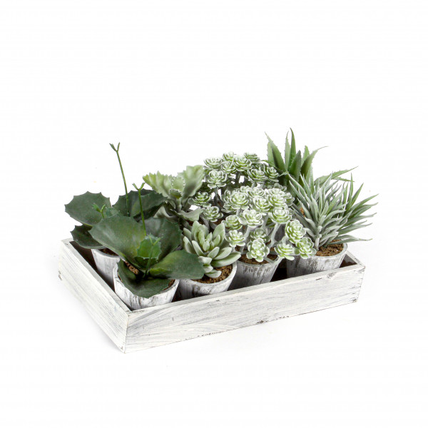 Sukkulenten getopft auf Holz- tray, grün-weiß gefrostet