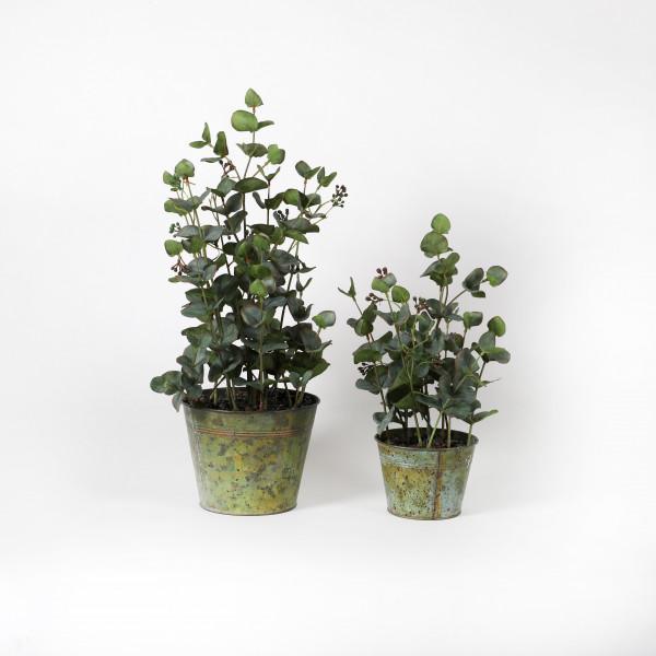 Eucalyptus im Zinktopf