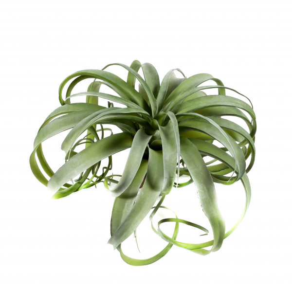 Tillandsie groß, 33 cm, grün-betaut