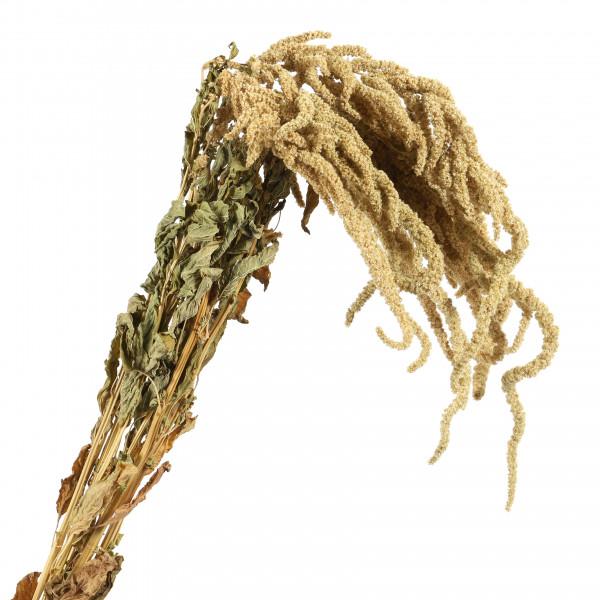 Amaranthus caudatis grün Bund 250 gr hängend