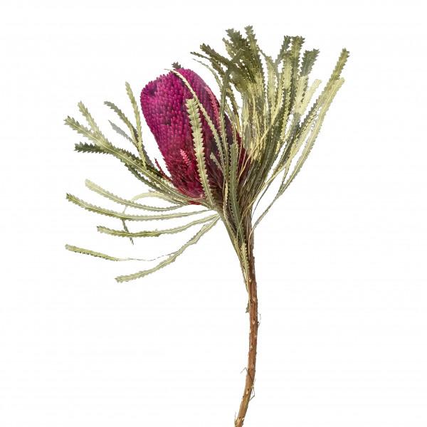 Banksia Hookerana brombeer (Fensterkarton x 30St.)