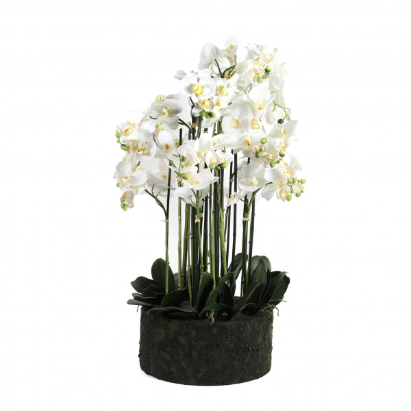 Phalaenopsis-Pflanze x19, 90cm mit Erde