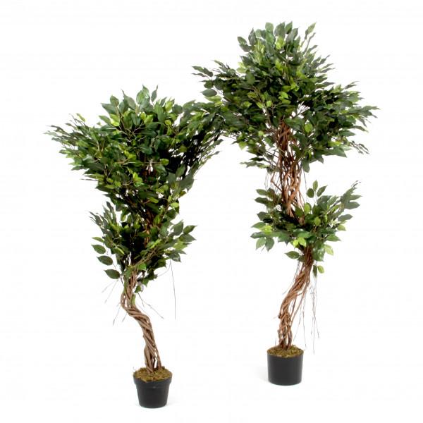 Ficus, getopft