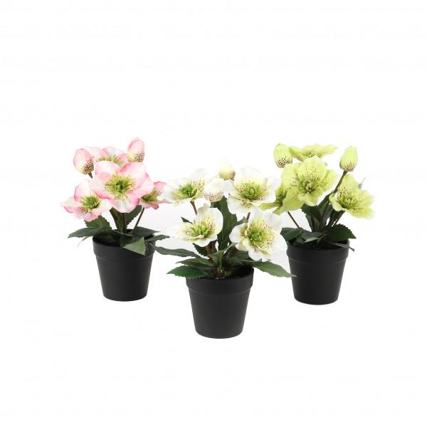 Christrose getopft, 26 cm 4 Blüten, 2 Knospen