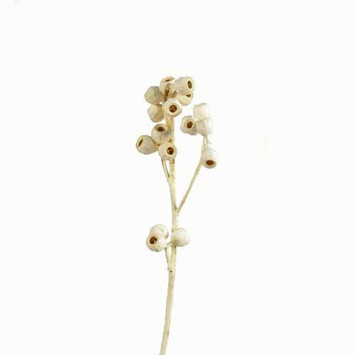 Ambernut Brunch gebleicht (Fen sterkarton x 50 St.)