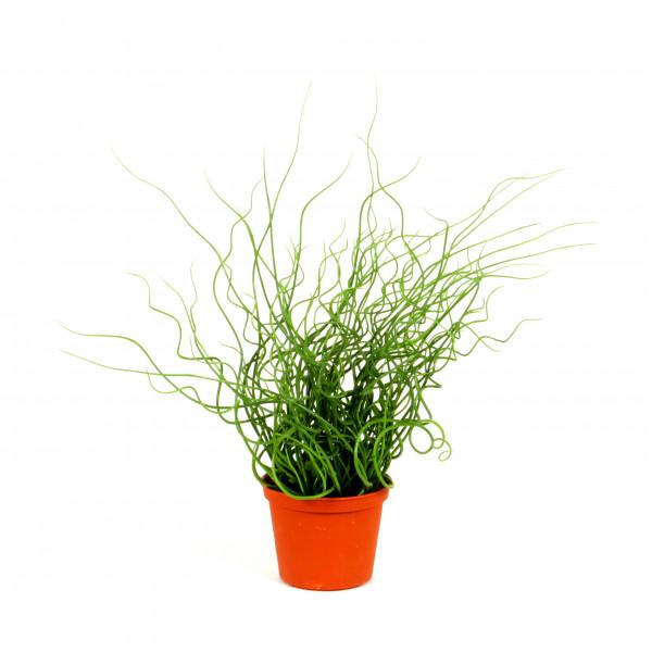 Juncus Effusus, 40 cm, getopft